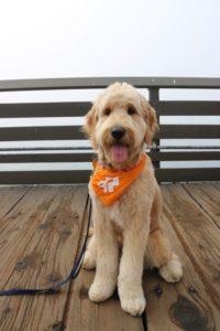 Claudia's golden doodle pup