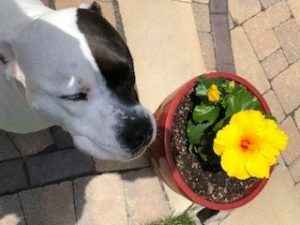 Bosco, Jorie's dog, smelling a flower in a pot.
